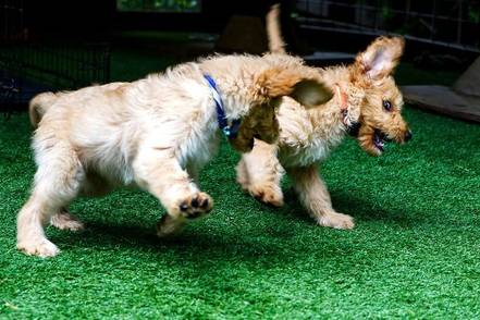 feisty-word-history-puppies-playing-photo