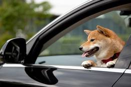 shiba-inus-are-notorious-for-texting-and-driving