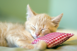 sleeping-baby-cat-resting-its-head-on-a-tiny-pillow