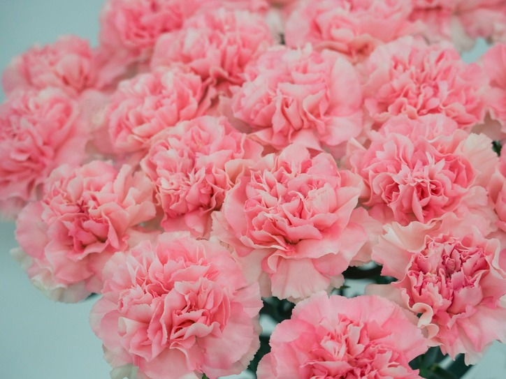 Carnation pink the color that will change your life merriam webster mightylinksfo