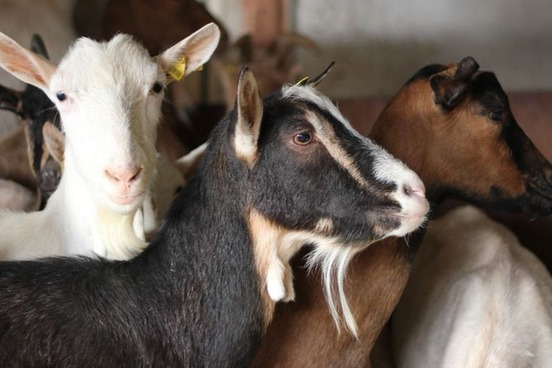 Definition   Of, Relating To, Or Suggestive Of A Goat; Especially :  Resembling A Goat In Smell