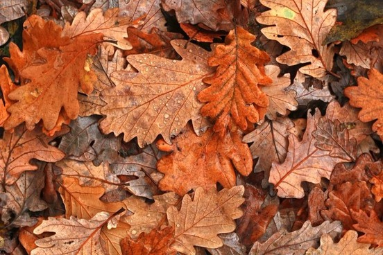 Image result for auburn autumn leaves