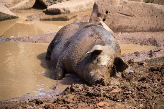 "Like a Pig in Mud"" and Other Barnyard Idioms 