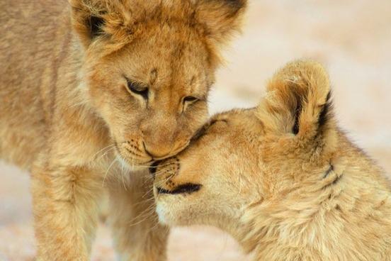lion friends සඳහා පින්තුර ප්රතිඵල