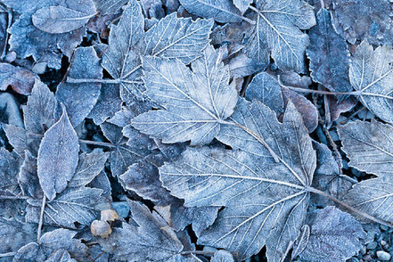 frosted-autumn-leaves