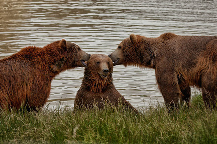 three-bears-two-of-them-look-like-theyre-whispering-to-a-third-bear-who-looks-chuffed-to-be-the-center-of-attention