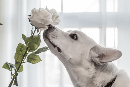 wide eyed dog smelling rose