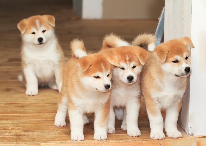 a whole bunch of puppies
